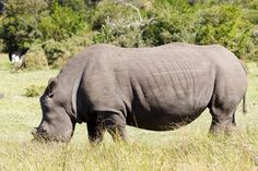 The Rhinoceros - Rhinocerotidae A rhinoceros, often abbreviated to rhino, is one of any five extant species of odd-toed ungulates in the family Rhinocerotidae, as well as any of the numerous extinct species.