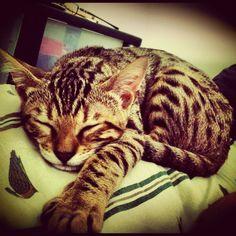 Bengal kitten. Mila :)