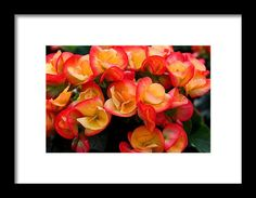 begonia, orange, yellow, flower, nature, bloom, macro, michiale schneider photography