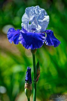 Tall bearded IrisRide The Wind(Schreiner, 1991) TB, 38 inches (97 cm), M S. white; F. blue, slightly ruffled white edge; beards lemon, tipped white. HM 1993, AM 1996 .