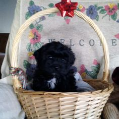 Hola! For my name is Poncho, the loving black male Shih-poo!  I was born on Sept 9, 2017, my mom is a Shih-poo weighs 12 lbs & my dad is a poodle weighs 8 lbs. I'm loving, pleasing, tender, playful and a snuggle bug. I love to just be with you and snuggle in your lap.  I'll come with shots and wormed to date! They are asking $585.00 for me. Do you think I'm adorable and you want me in your life forever?