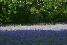ENYS GARDENS BLUEBELL WOODS | Flickr - Photo Sharing!
