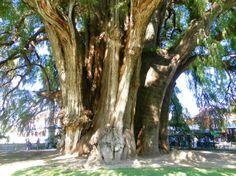 El árbol cuyo tronco tiene el mayor grosor del mundo es el Árbol del Tule, en Oaxaca, México. Es un ciprés de Moctezuma de 14,05 metros de diámetro.  Su peso se estima en unas 636 toneladas y se cree que tiene unos 2000 años de edad.