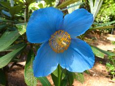 Himalayan Blue Poppy Care - Soil preparation is the single most important factor. Blue Poppies demand a rich well draining soil in an area of partial shade. Organic Mulch, White Flower Farm, Modern Flower Arrangements, Blue Poppy, Balcony Plants, Tall Plants, Ornamental Plants, All Flowers, Garden Gifts