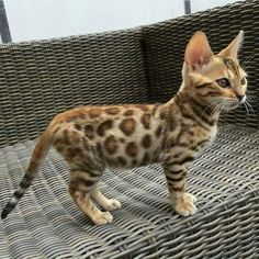 Bengal cat.The most awsome cats in the world. I have space at home, just waiting for that allergy cure...