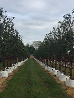 Prunus serrula Tibetica as multi stems