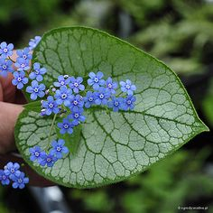 Brunnera macrophylla 'Jack Frost' - Brunera wielkolistna - WHY is this so stinkin expensive!?!?!?!