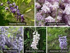 Wisterias are beautiful vines known for their vibrant, traffic-stopping colors. But they are also notorious for growing aggressively. This article will explain how to successively grow and care for one. Amazing Gardens, Beautiful Gardens, Beautiful Flowers, Purple Plants, Purple Flowers, Flowering Bonsai Tree, Bonsai Trees, Flowering Plants, Bonsai