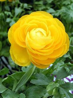 Ranunculus, Persian Buttercup... this is so BEAUTIFUL, guess thats why I call my niece Buttercup. could get this as a tattoo.