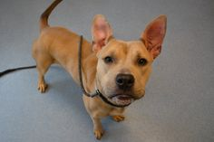 Carmela is a female Pit /Shepherd mix who between one and two years old. She is a happy girl who loves to play and be with people. She would be good with children 5 and up and seems to be ok with dogs so far. She needs a home without cats. Find her at Islip Animal Shelter and Adopt-a-Pet Center - Bay Shore, NY