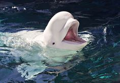 Beluga Whale. Photo by casch52