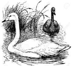 Bird Whooper Swan Royalty Free Cliparts, Vectors, And Stock Illustration. Pic 12487061.
