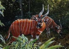 Bongo Forest Antelope in Their Domain. Dik Dik, Beauty Land, Jehovah's Witnesses, Wildlife Art, Cattle, Beautiful Creatures, Science Nature, Animal Kingdom, Mammals