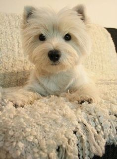 I Have a Westie too! (West highland terrier) They are so cute and playful! To all my beloved Westies. Westie Puppies, Westies, Cute Puppies, Cute Dogs, Dogs And Puppies, Doggies, Chihuahua Dogs, West Highland Terrier, Pets