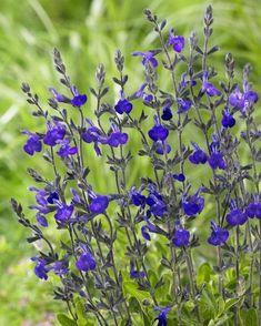 Autumn Sage - Our Plants - Kaw Valley Greenhouses Hydrangea Landscaping, Yard Landscaping, Blue Garden, Dream Garden, Beautiful Gardens, Beautiful Flowers, Royal Blue Flowers, Hardy Perennials, Garden Borders