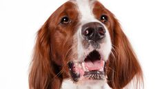 Irish Red and White Setter: Fun-loving, friendly, high-spirited; a real handful if bored or neglected.