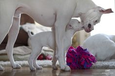 White boxer mama and pup Boxer Breed, Boxer Puppies, Dogs And Puppies, Doggies, White Boxer Dogs, White Boxers, Boxer Mom, Boxer And Baby, I Love Dogs