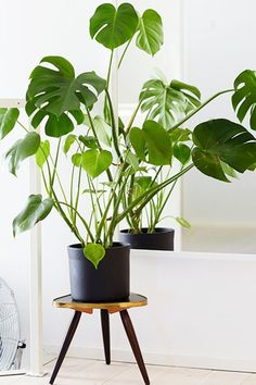 SPLIT-LEAF PHILODENDRON, for a tropical vibe. Loves direct sunlight and lots of water. Mist leaves once a day to keep them perky!