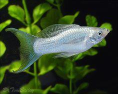 http://www.aquariumfish.net/images_01/silver_molly_100617a3_w0480.jpg