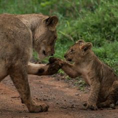 Proof that lions are the most doting of mothers... Help us save the plight of the lion as the numbers continue to decrease in the wild!