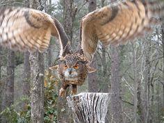 Eurasian Eagle Owl by DavidMayer