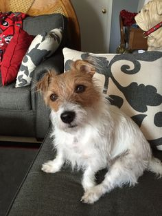 Tigger a rough coat Jack Russell rescue dog!!!!