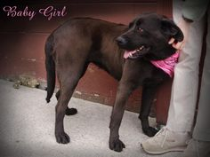 URGENT!--BABY GIRL is an owner surrendered, young adult, female Labrador Retriever mix at the Pocahontas County Animal Shelter, in Marlinton, WV in need of rescue or adoption.     More PHOTOS here:  https://www.facebook.com/media/set/?set=a.349519948491171.1073741831.257761584333675=1    For rescue or adoption info email: asapwva@gmail.com