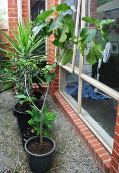 My fantastic fig tree!