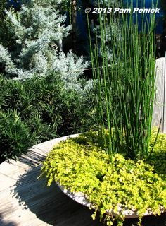10 Best Horsetail Reed Images Horsetail Reed Plants