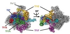 Chemistry Researchers Unveil New, Detailed Images of Initial Stages of DNA Transcription http://www.sciencetotal.com/news/2016-05-chemistry-researchers-unveil-new-detailed-images-of-initial-stages-of-dna-transcription/