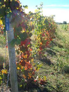 October 6th, 2012 It's Fall in our vineyards. Our grapes have been picked and the vines have weathered another harvest season. Though they are ready to head into a nice long dormancy period, they give us one last bit of enjoyment by developing a beautiful fall color pallet, perfect for viewing over a nice glass of juice or wine made from their fruitful bearings. Here are our Thomcord vines heading into dormancy. This year grapes ripened and picked early and are going dormant earlier than…