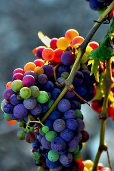 Veraison occurs when the grapes change color from green to purple and start making sugar.