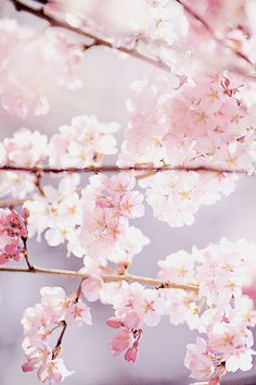 プルーム Cherry Blossoms<3