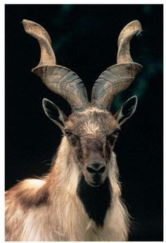Markhor (Capra falconeri) The markhor is a large species of wild goat that is found in northeastern Afghanistan, northern Pakistan, some parts of Azad Kashmir and Indian Kashmir, southern Tajikistan and southern Uzbekistan.