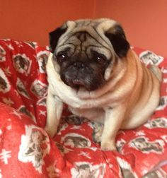 'What's your Cath Kidston favourite?' competition finalist - Julia Evans #CathKidston #CKfavourite #dogbed #pug