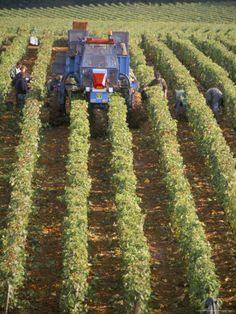 Harvesting Grapes in a Vineyard Near Macon, Burgundy (Bourgogne), France. Photo: Michael Busselle