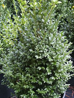 1000 images about evergreen shrubs on pinterest for Low maintenance evergreen shrubs