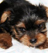 Yorkshire Terrier | Puppies for Sale #yorkshireterrier