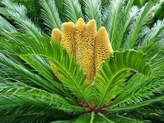 Sago Palm - exotic but extremely poisonous to pets!