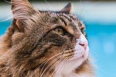 Profile of beautiful Maine Coon cat, closeup shot.