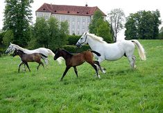 Piber Stud - home of the Spanish Riding School Lipizzaner foals. 1 hour from Graz