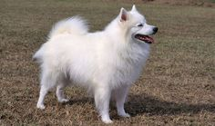 American Eskimos love everyone and are suited to many types of homes because they are so trainable and affectionate. Learn all about American Eskimo breeders, adoption health, grooming, training, and more.