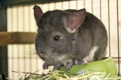 Chinchilla Rabbit and Chinchilla Rodent