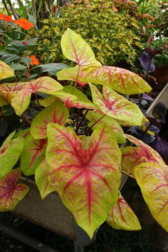 Caladium 'Yellow Blossom' (2)
