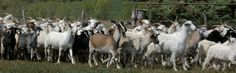 #goatvet likes this website of rangeland  goat meat buyers and suppliers located in regional NSW Australia.