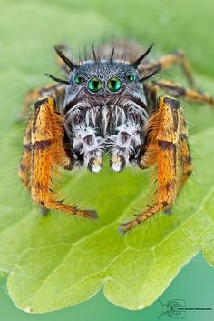 Jumping spider (Phidippus mystaceus) ~ By Colin Hutton … Cool Insects, Bugs And Insects, Amphibians, Reptiles, Spiders And Snakes, Cool Bugs, Itsy Bitsy Spider, Jumping Spider, A Bug's Life