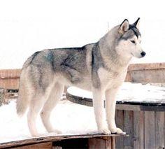 Cryptomundo » Japanese Wolves Part 3: The Hokkaido Wolf- here Siberian Huskey