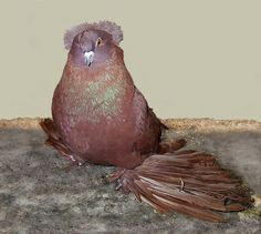 Red self english trumpeter pigeon