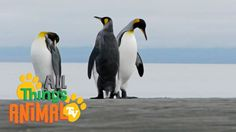 PENGUINS: Animal videos for children| kids| toddler. Preschool learning.
