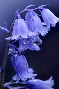 Perwinkle flowers with dew drops. Periwinkle is my favorite color! Amazing Flowers, My Flower, Purple Flowers, Beautiful Flowers, Cactus Flower, Exotic Flowers, Yellow Roses, Pink Roses, Fuchsia Flower